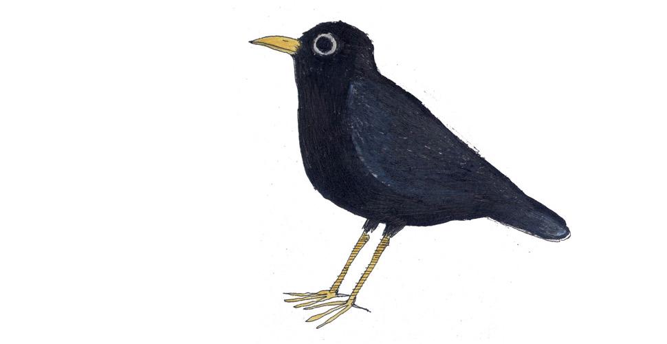 Merlo - Illustrazione di Federico Appel