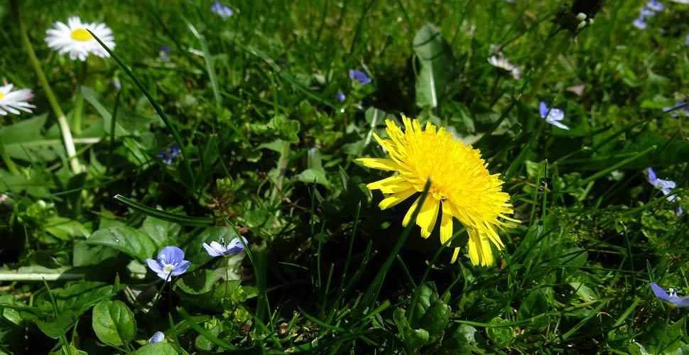il Tarassaco è una dei fiori spontanei più comuni