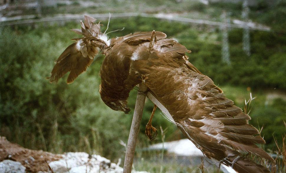 Falco di palude messo in croce dai bracconieri