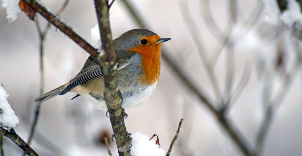 Come fanno gli uccelli ad affrontare il freddo dell - Primavera uccelli primavera colorazione pagine ...