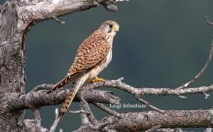 Gheppio - Foto Luigi Sebastiani - www.birds.it