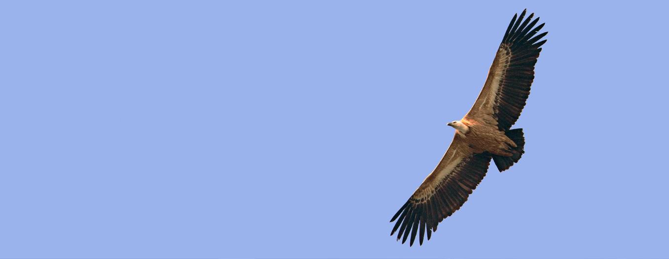 Gli avvoltoi sono in pericolo