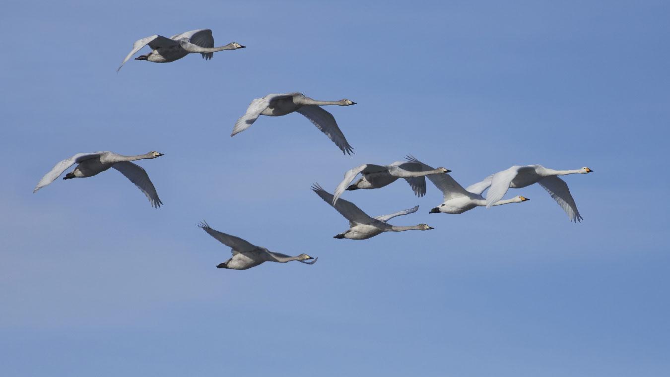 Proteggi il volo degli uccelli migratori